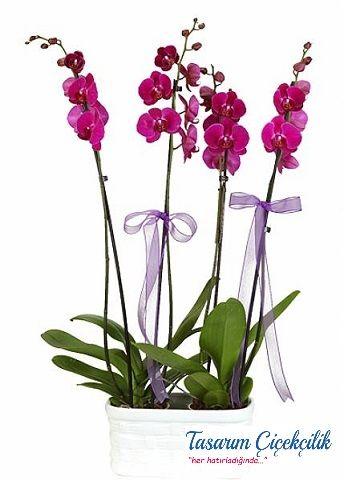 Dört Mevsim Orkide 502