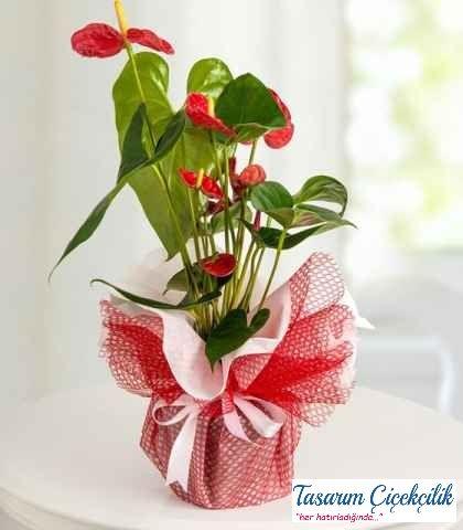 Antoryum Çiçeği 504