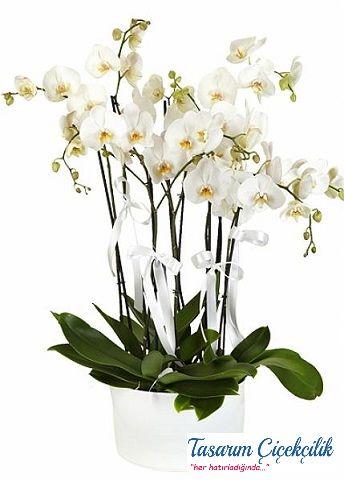 6 Dal Orkide 503