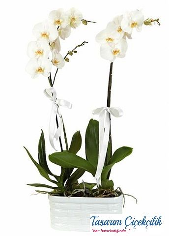 Beyaz 2 Dal Orkide balkon saksı 510