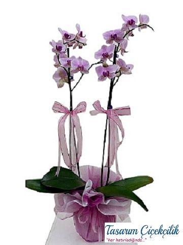 2 li Mor Orkide 529