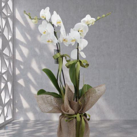 çift dallı beyaz orkide 501
